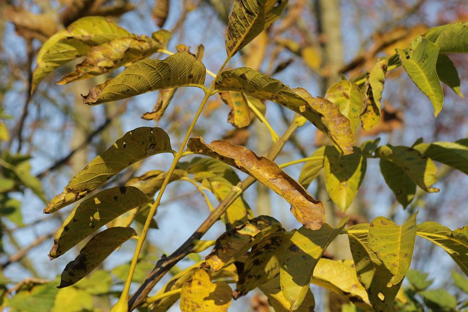 Walnut Tree, Leaves, Autumn, Plant, Green, Nature