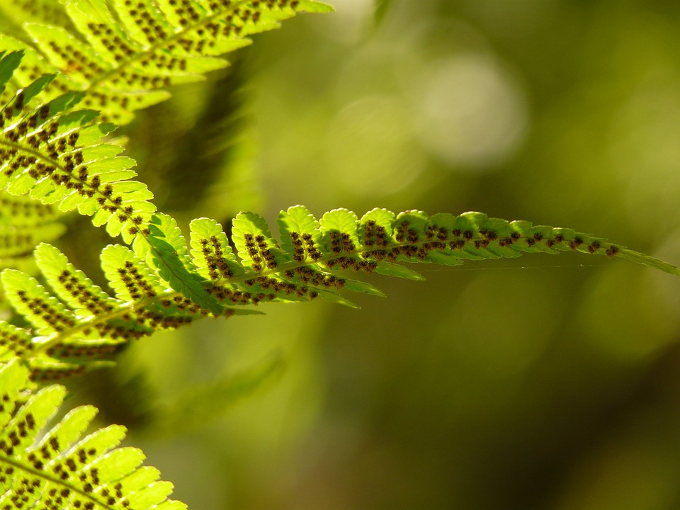 Fern, Back Light, Nature, Plant, Green