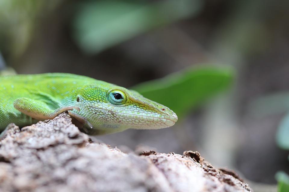 Lizard, Reptile, Green, White, Backyard, Closeup