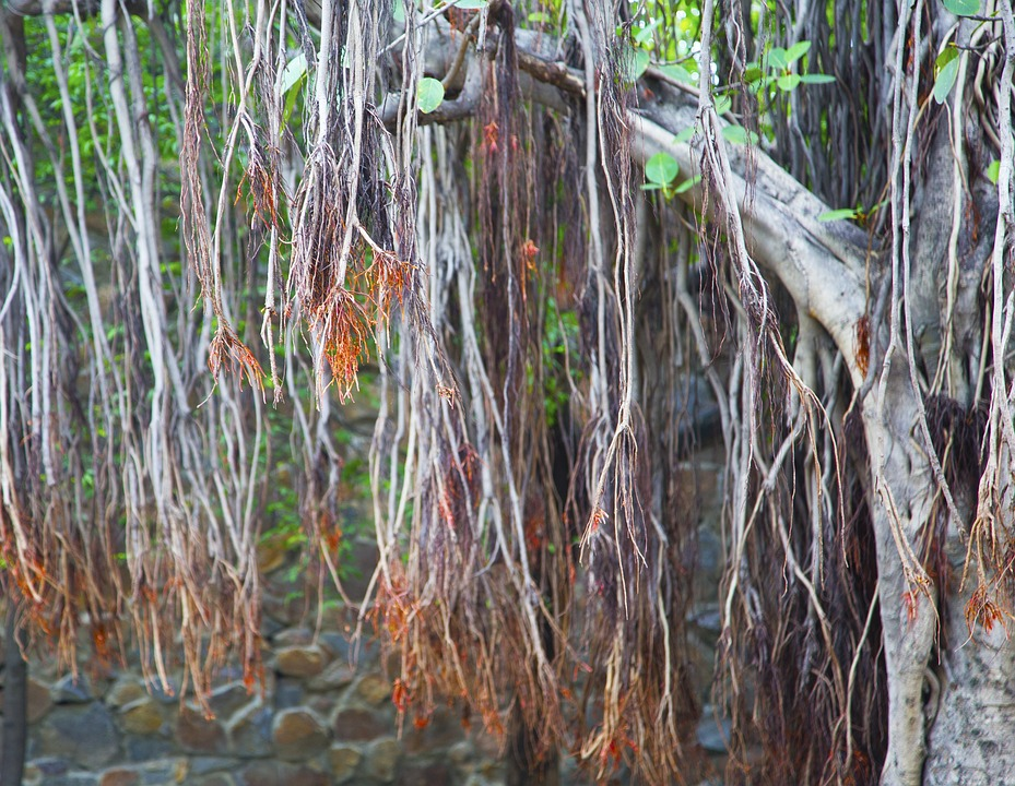 Banyan Tree, Forest, Tree, Banyan, Nature, Green, Plant