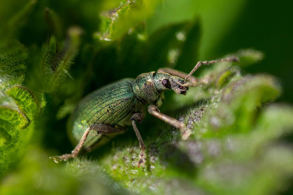 Nettle, Weevil, Beetle, Green, Insect, Insects, Nature