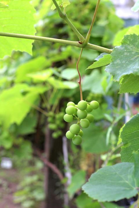 Grapes, Harvest, Garden, July, Vineyard, Berry, Green