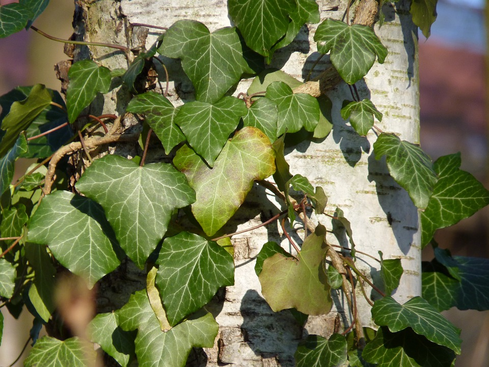 Ivy, Birch, Tree, Green, Log, Ranke, Plant, Bark