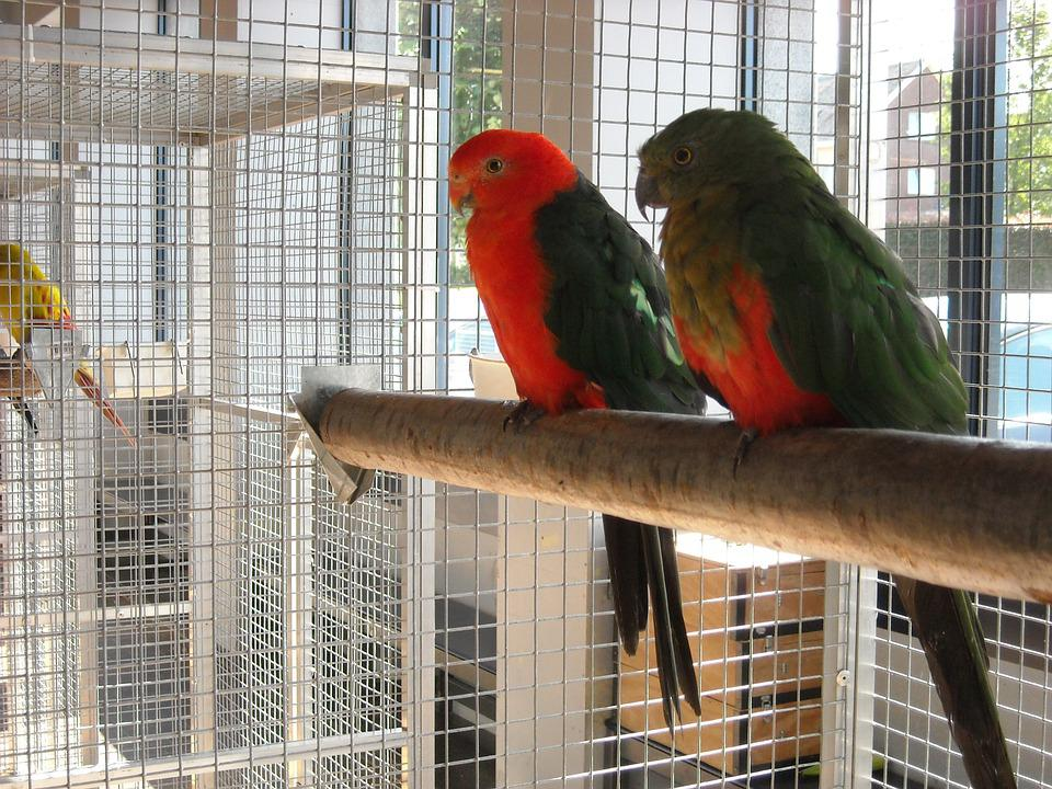 Parakeets, Small Parrots, Birds, Pets, Cage, Red, Green