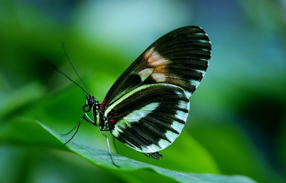 Papilio, Rumanzovia, Butterfly, Animal, Black, Green