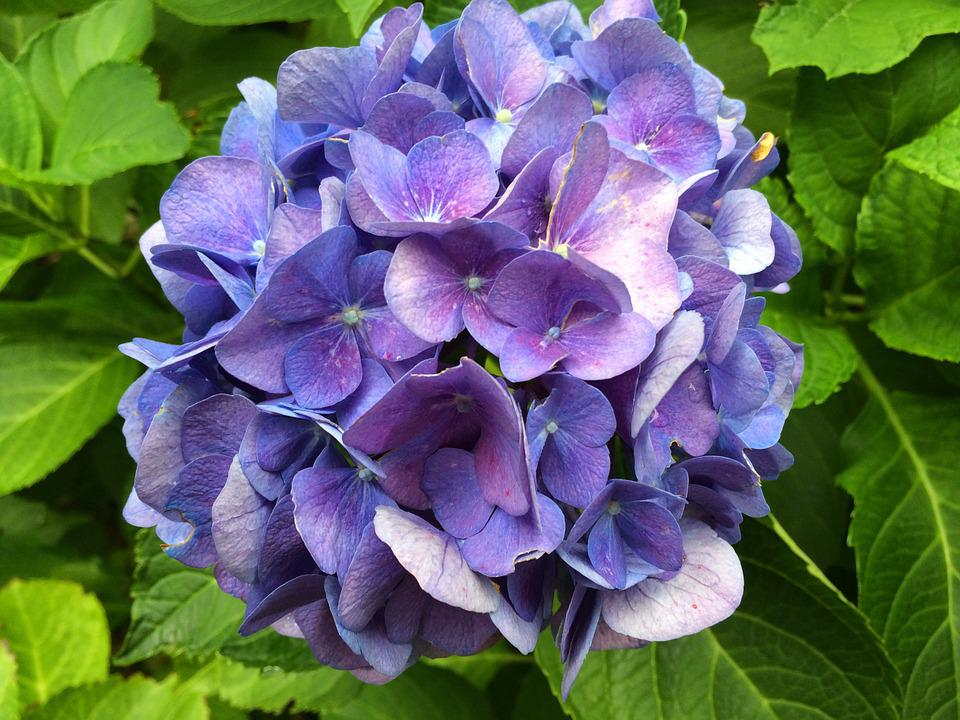 Hydrangea, Blue, Blossom, Bloom, Leaves, Green