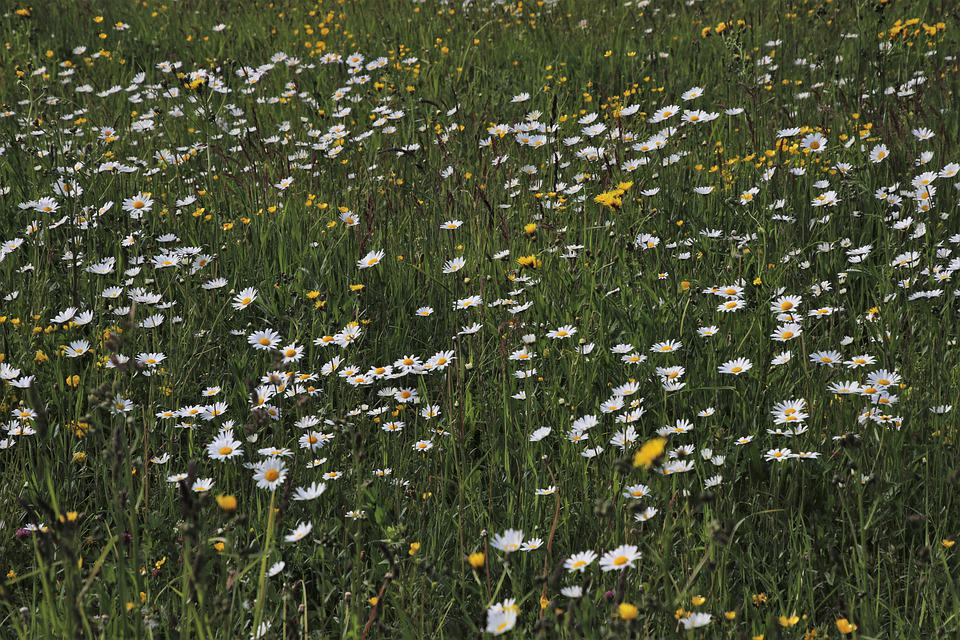 Wildflowers, Bloom, Camomile, The Delicacy, Green