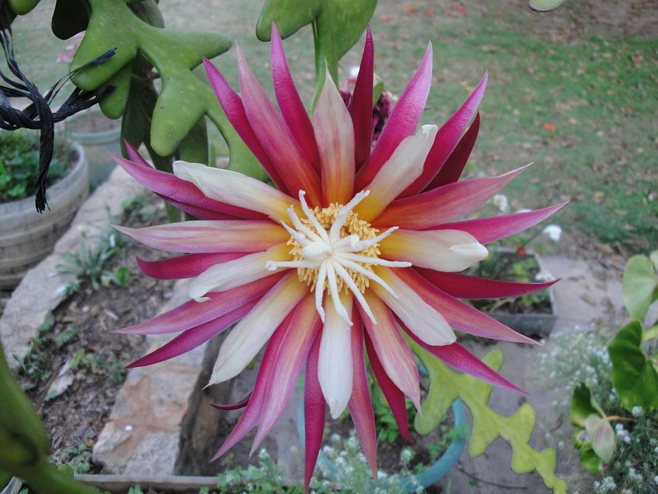 Bloom, Cactus, Flower, Plant, Flora, Green, Cacti