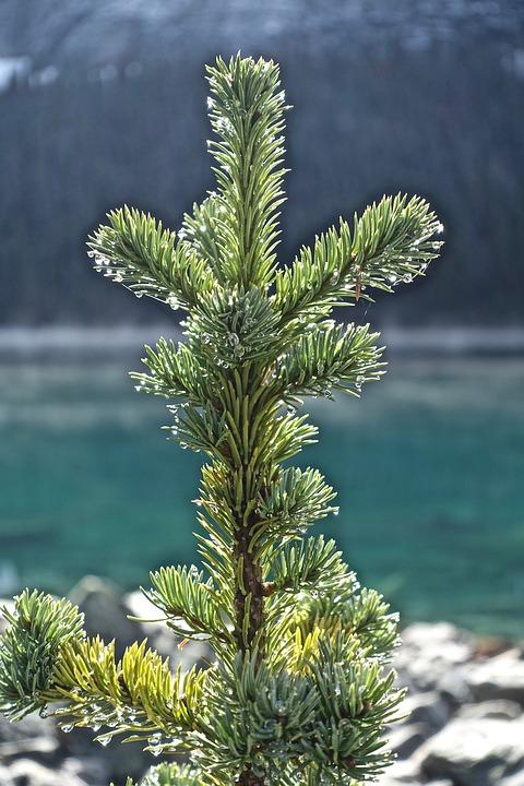 Pine, Branch, Tree, Green, Needles, Nature