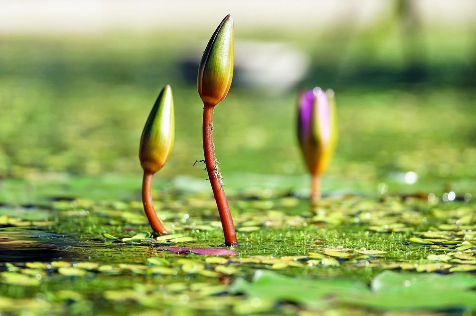Water Lilies, Bud, Pond, Green, Water, Botany, Nature