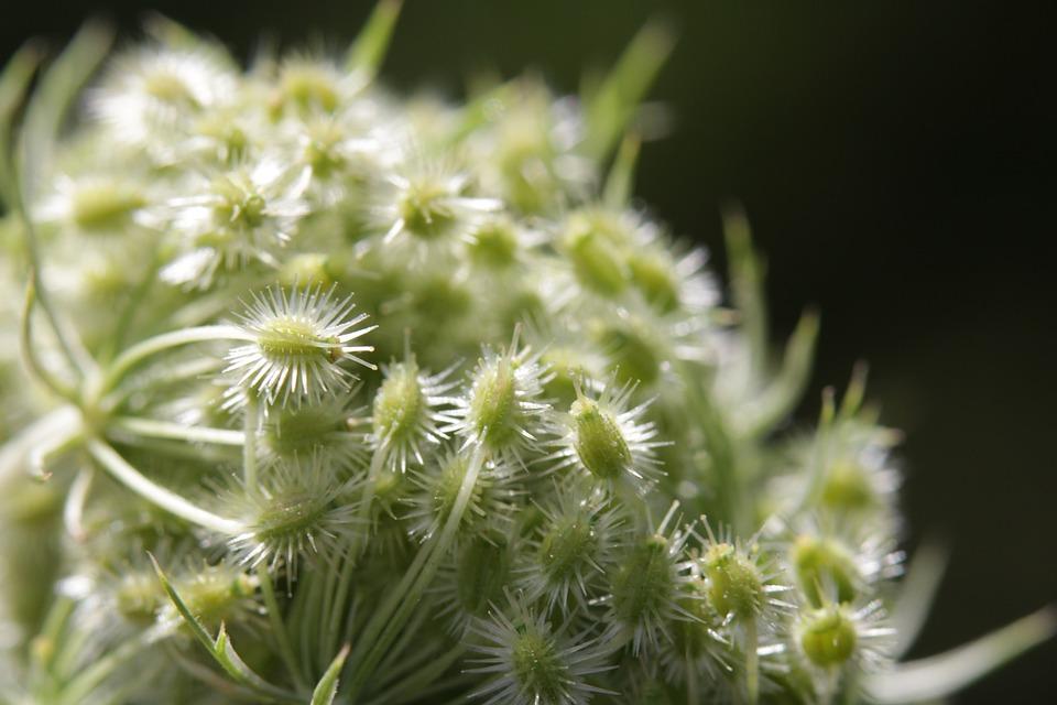 Wild Carrot, Flower, Buds, Plant, Green, Nature, Dark