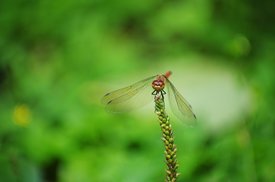 Dragonfly, Red Dragonfly, Autumn, Bug, Insect, Green
