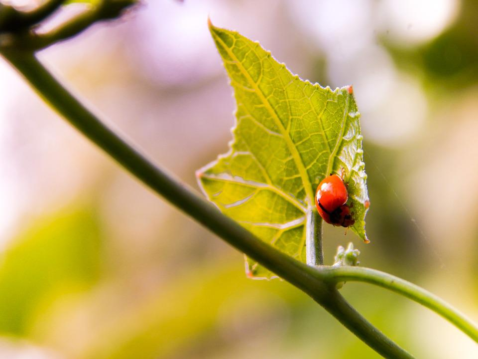 Ladybird, Insect, Nature, Bug, Green