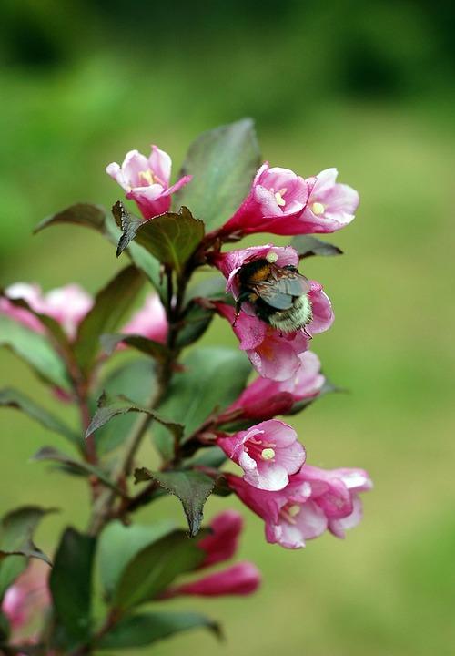 Bumblebee, Insect, Flower, Pink, Green, Garden