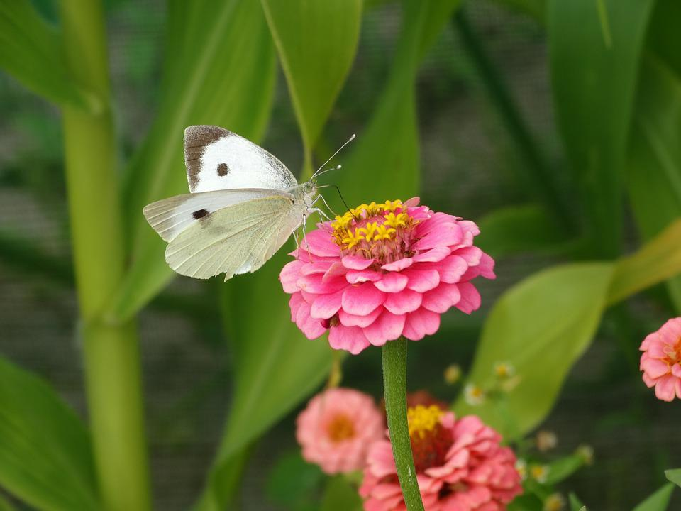 Butterfly, Flower, Green, Pink, White