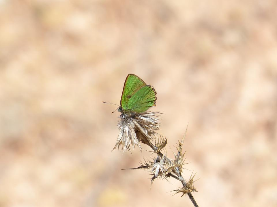 Butterfly, Green, Shimmering, Branch, Callophrys Rubi