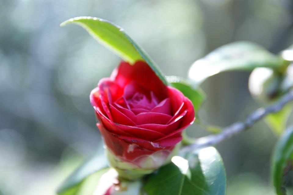 Flower, Petals, Leaves, Foliage, Flora, Camellia, Green