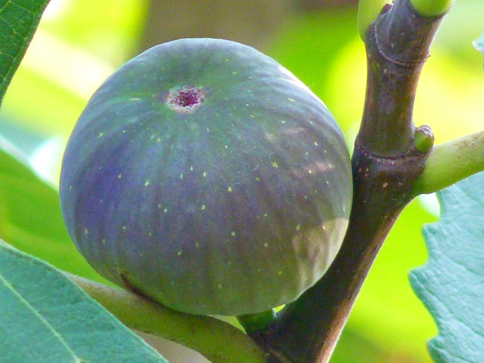 Fig, Fig Fruit, True, Ficus, Carica, Green, Fig Tree
