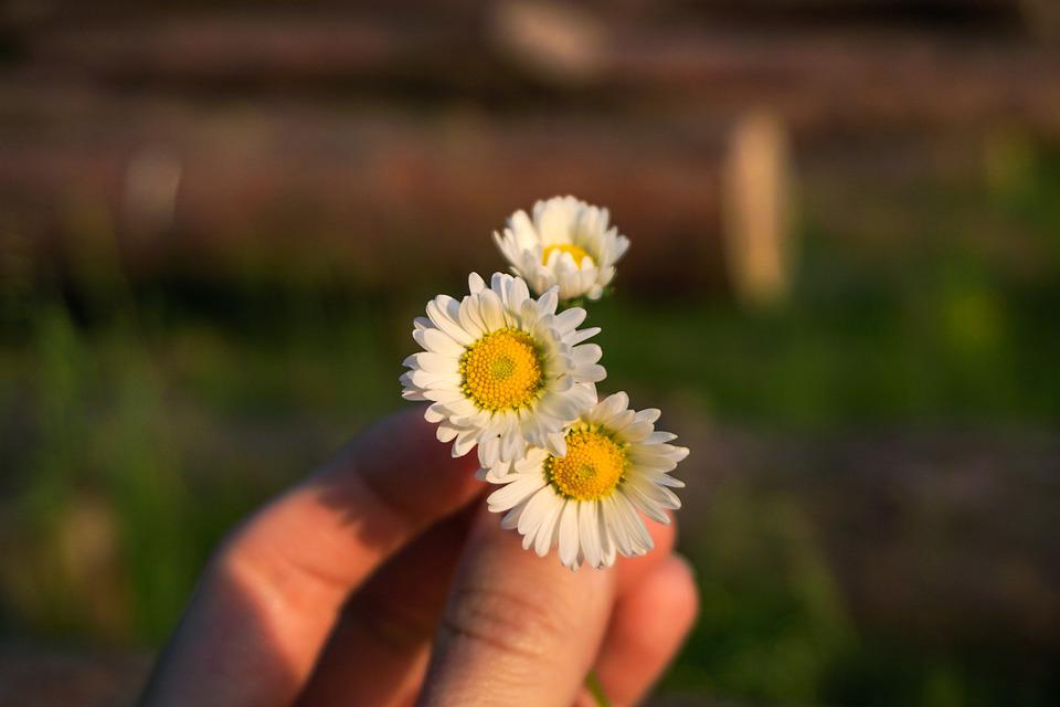 Flower, Chamomile, Plant, Hand, Nature, Green, Summer
