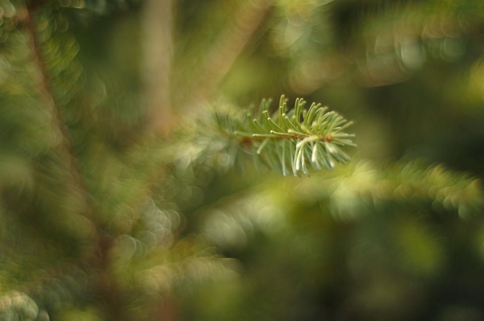Spruce, Tree, Forest, Green, Christmas, Pine