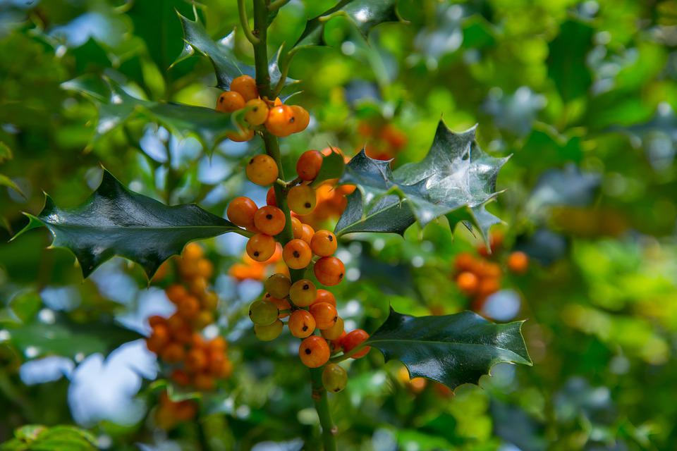 Holly, Plant, Tree, Christmas, Green, Decoration
