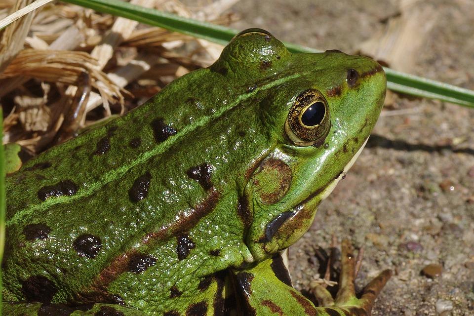 Frog, Frog Pond, Amphibian, Green, Macro, Close