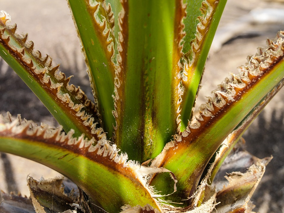 Cactus, Agave, Prickly, Thorns, Plant, Green, Close Up