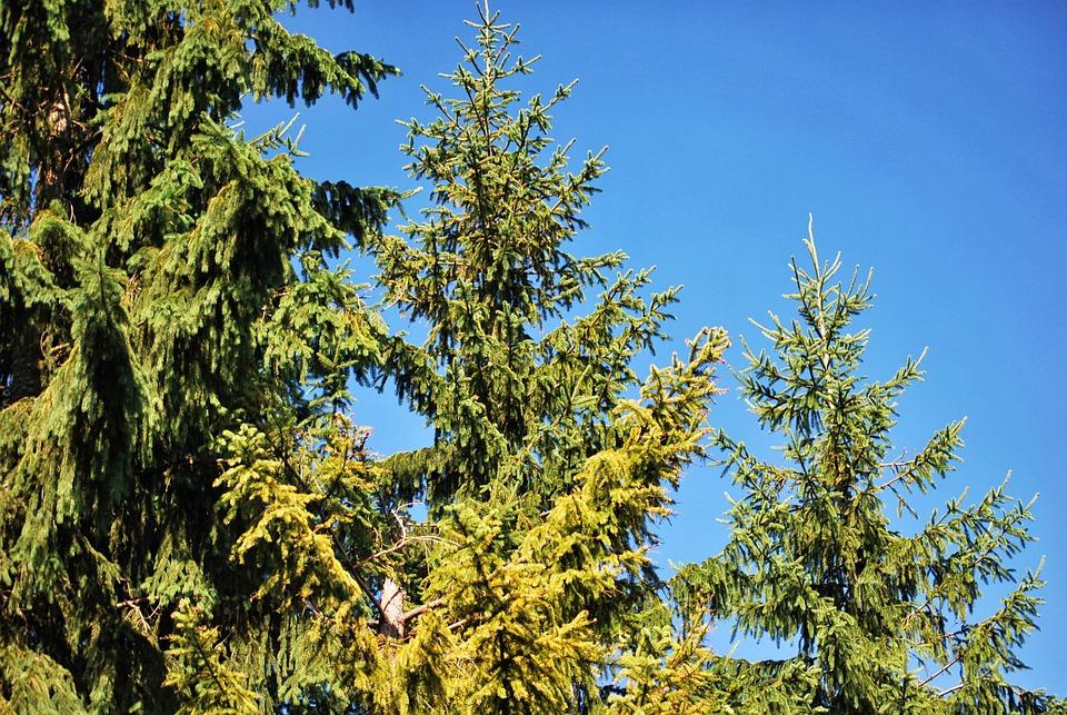 Plants, Coniferous, Green, Spruce
