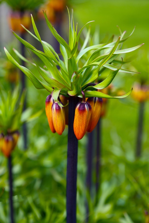 Orange, Crown, Imperial, Green, Tulip, Background