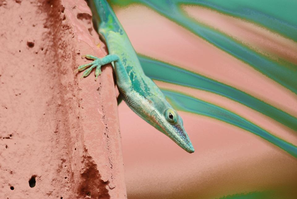 Lizard, Cuba, Heat, Rock, Green, Nature, Garden