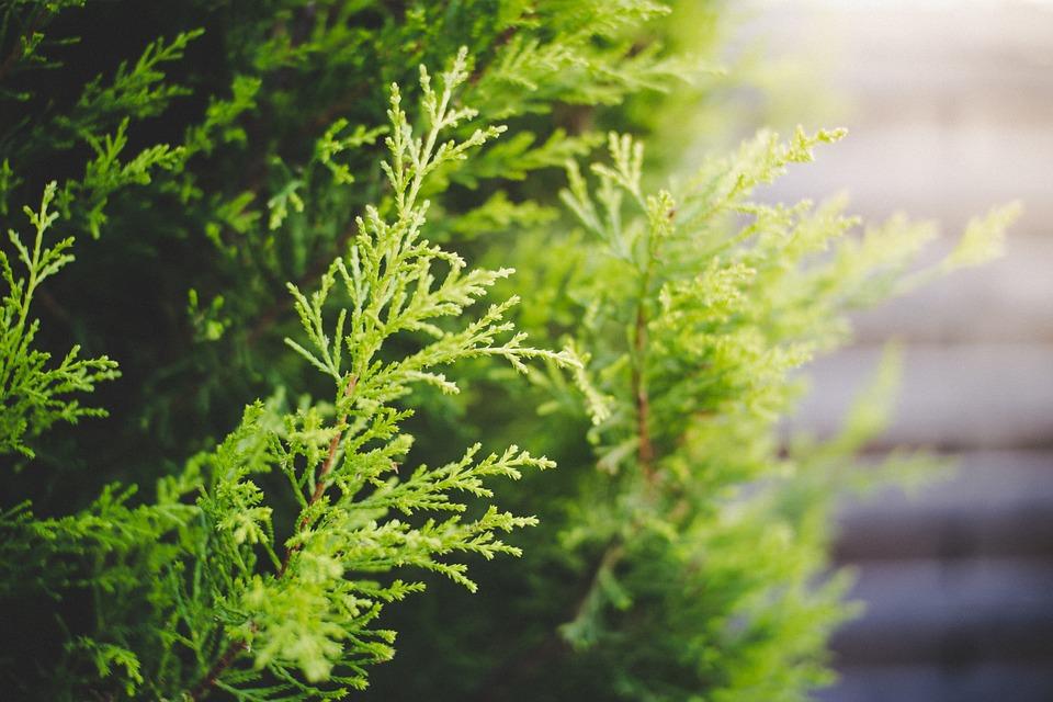 Cypress, Green, Nature, Plant, Evergreen, Garden