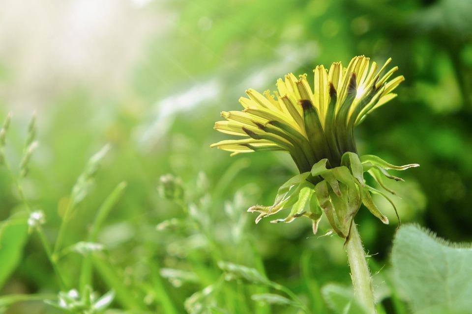 Dandelion, Flower, Spring, Sunlight, Meadow, Green
