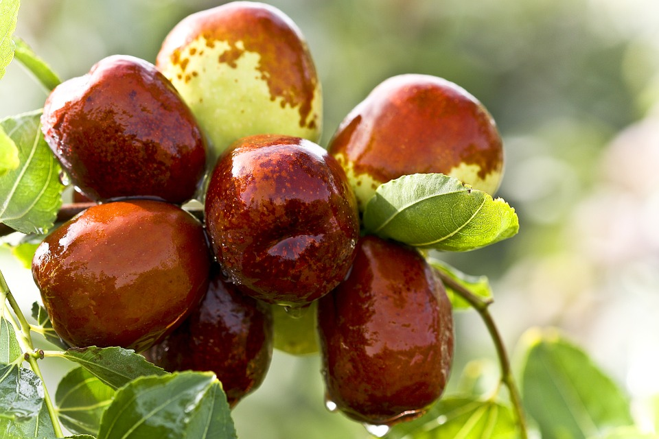 Jujube, Food, Green Dates, Date Tree