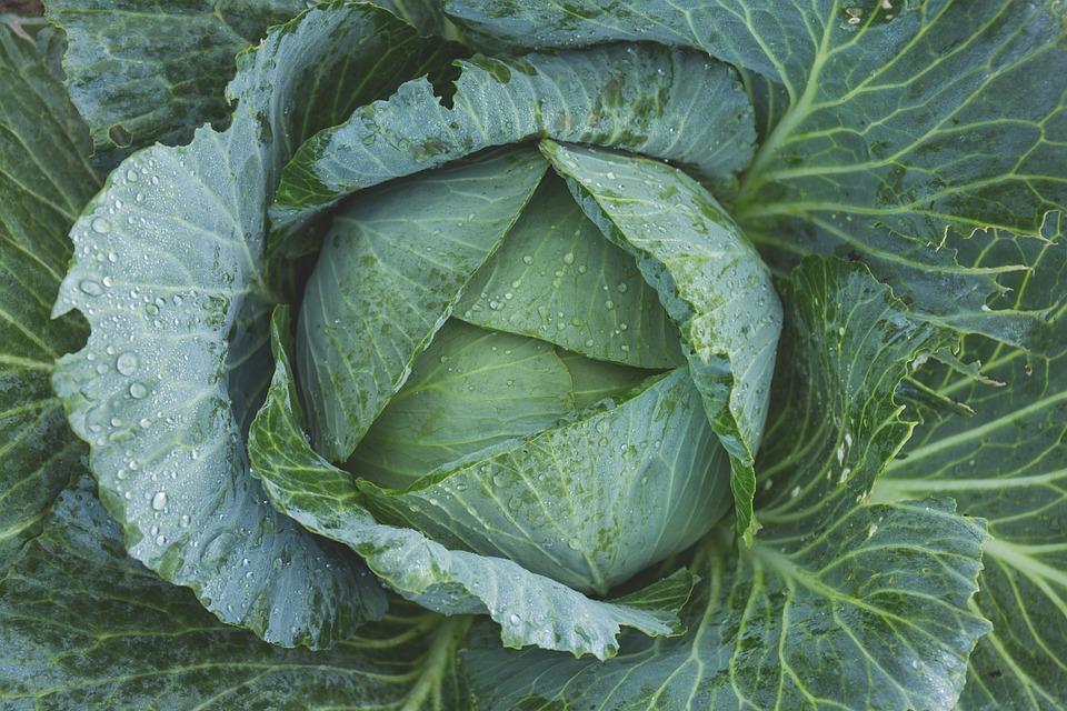 Cabbage, Vegetable, Kale, Green, Dew, Flora, Food