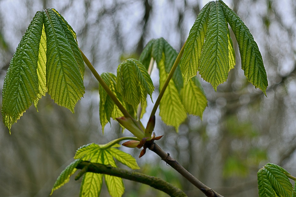 Horse Chestnut, Foliage, Donuts, Green, Nature