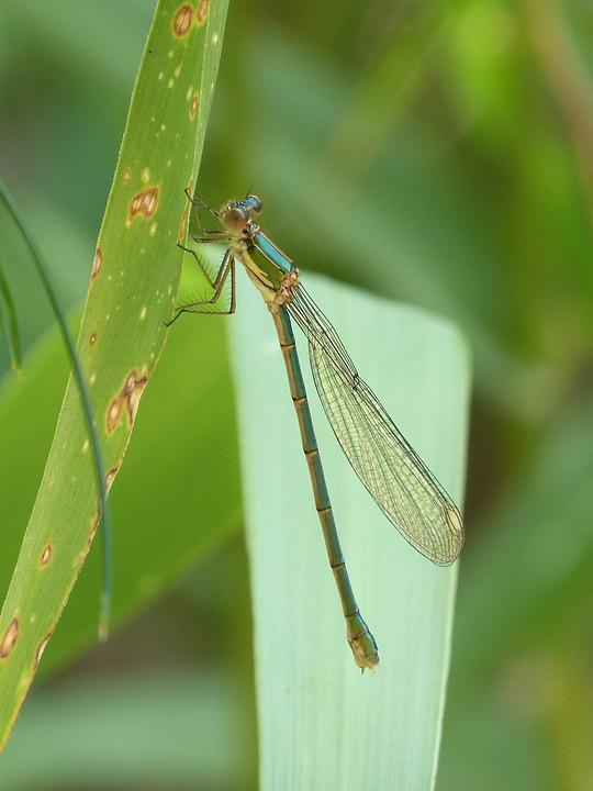 Dragonfly, Damselfly, Green Dragonfly, Flying Insect