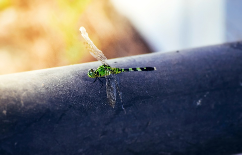 Dragonfly, Insect, Green Dragonfly, Green Darner