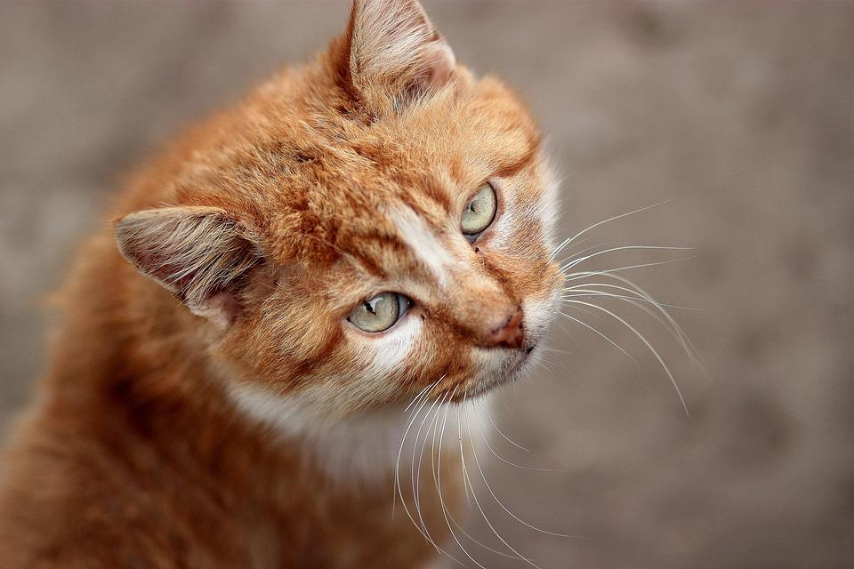 Cat, Orange, Portrait, Green Eyes