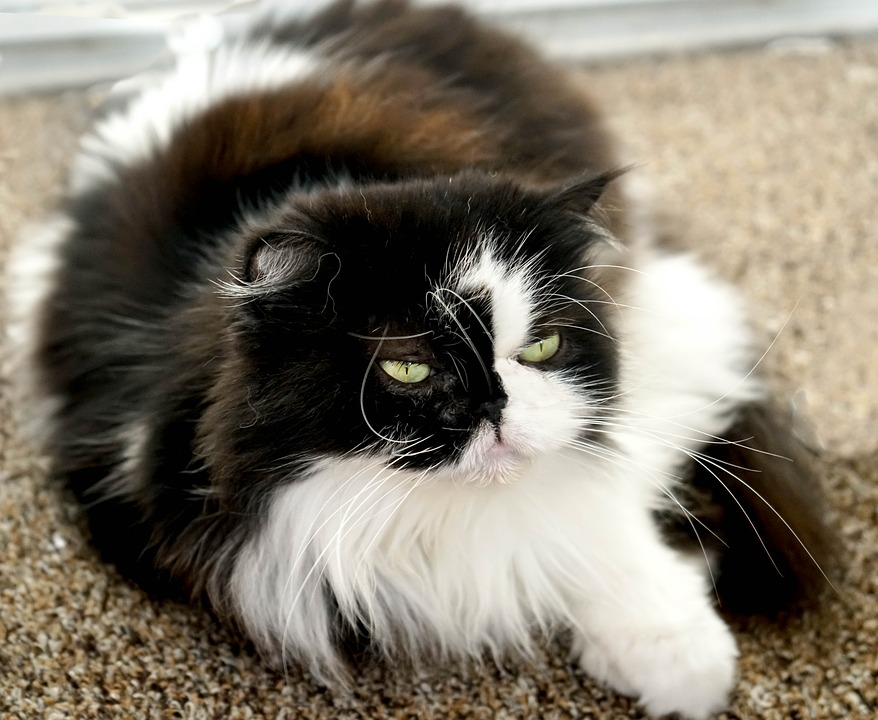 Himalayan Persian, Black, White, Portrait, Green Eyes