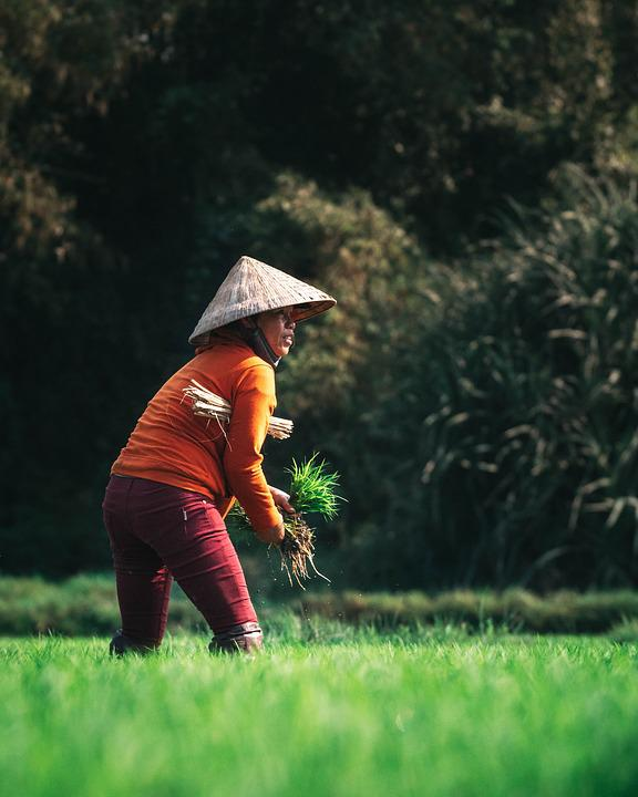 Farmer, Agriculture, Harvest, Vietnam, Asia, Green
