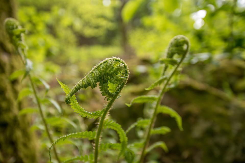Fern, Forest, Green, Plant, Leaves, Spring, Moss, Bud