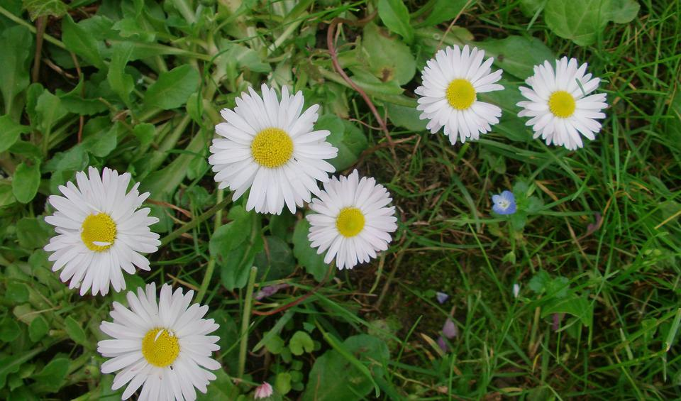 Daisy, Flower, Green, Flowers, Green Field, Beautiful