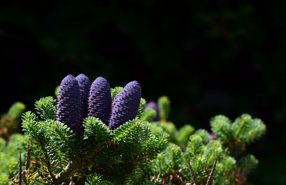 Conifer, Green, Cones, Evergreen, Fir Tree, Plant