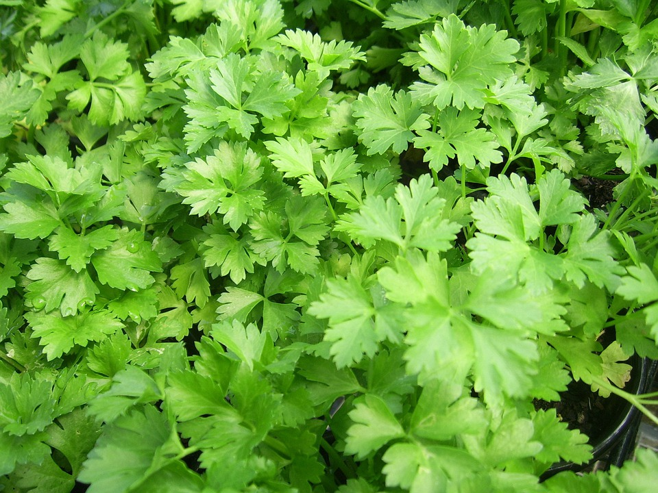 Parsley, Flat-leaf, Italian Cooking, Green, Healthy