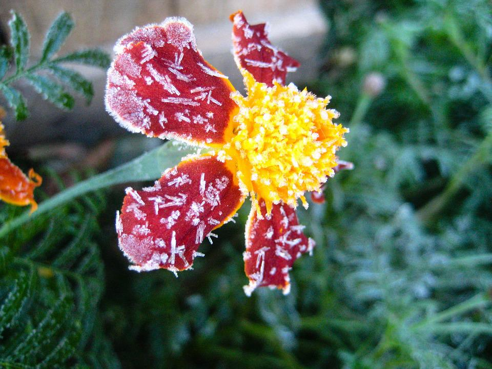 Flower, Frost, Red, Green, Plant, Frosting