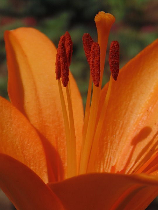 Orange, Flower, Lily, Nature, Coloring, Green, Pestle