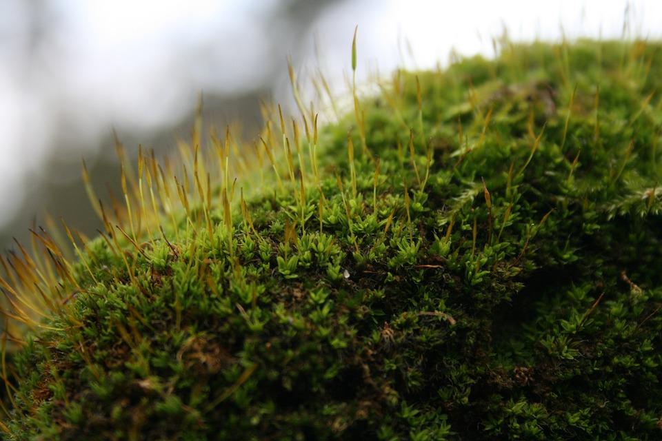 Moss, Macro, Green, Flower