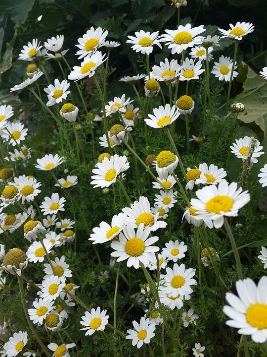 Flower, Daisy, Green Field, Nature, Beautiful, Green