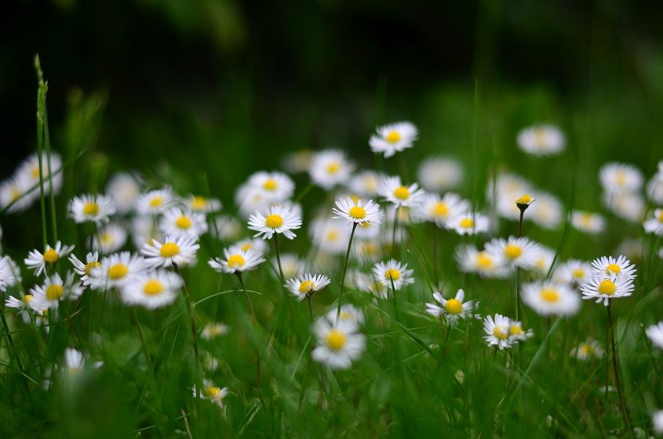 Flower, Nature, Daisy, Macro, Spring Flowers, Green