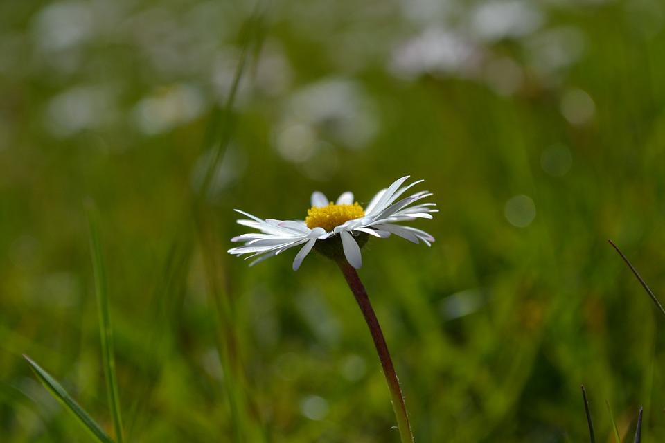 Daisy, Flower, Nature, Green, White Flowers